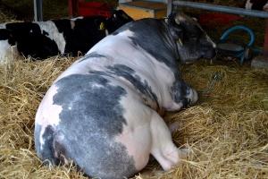Ceny bydła stanęły w miejscu