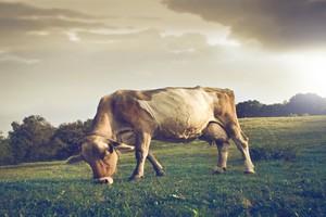 Wzrost wydajności krów w Niemczech