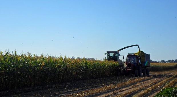 Wstępne wyniki plonowania odmian kukurydzy na kiszonkę