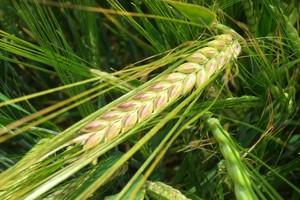(Nie)trwałość odporności w roślinach