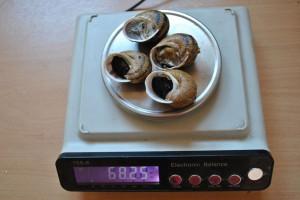 Ślimaki winniczki na Warmii i Mazurach są coraz mniejsze