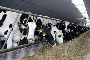 Globalne skutki uwolnienia rynku mleka w UE