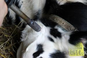 Dekornizacja – bezpieczeństwo zwierząt i hodowcy