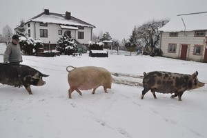 Program bioasekuracji, to nowe koszty dla producentów świń z Podlasia