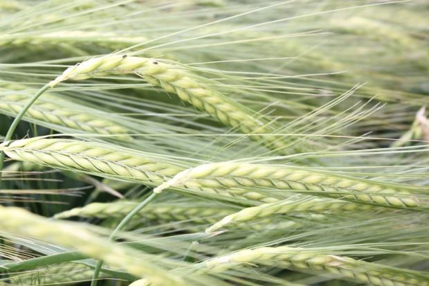 Nowości wśród zbóż jarych