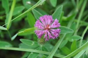 Koniczyna i lucerna będzie objęta  płatnością związaną z produkcją do roślin wysokobiałkowych