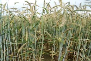 Regulatory wzrostu i skracanie zbóż