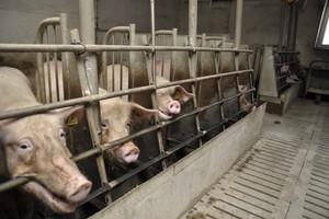NIK: brak właściwego nadzoru nad funkcjonowaniem ferm zwierząt