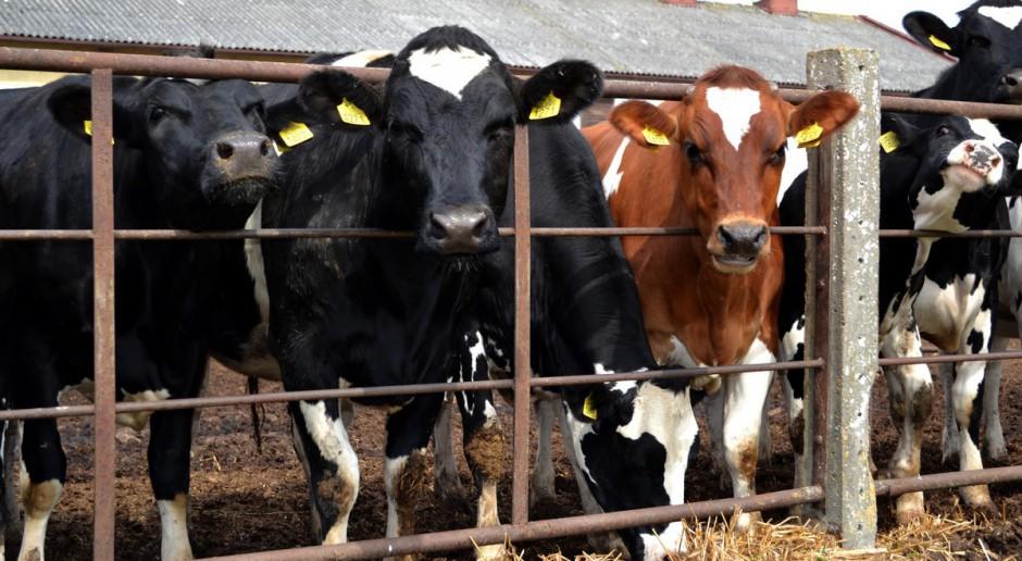 GUS: Pogłowie bydła w Polsce w 2014 roku