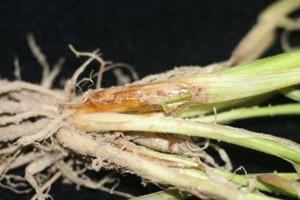 Łamliwość źdźbła zbóż i traw