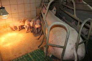 Pierwszy tydzień życia krytycznym okresem dla osesków