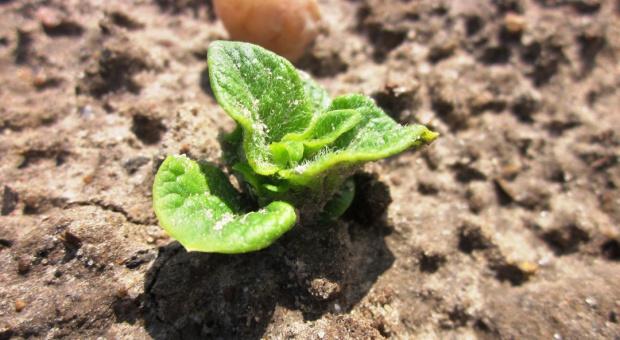 Podkiełkować sadzeniaki