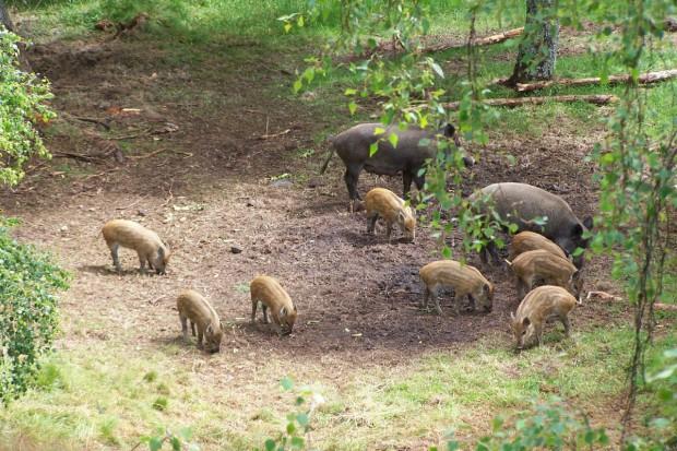 Zarząd województwa: będzie projekt uchwały o depopulację dzików