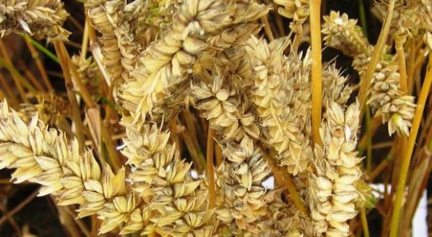 Cena pszenicy na Matif trzyma się mocno