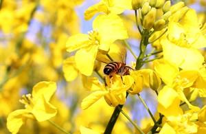 Nie wszystkie neonikotynoidy są niebezpieczne dla pszczół