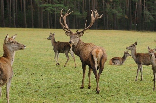 Leśnicy dokarmiają, zwierzęta w dobrej kondycji