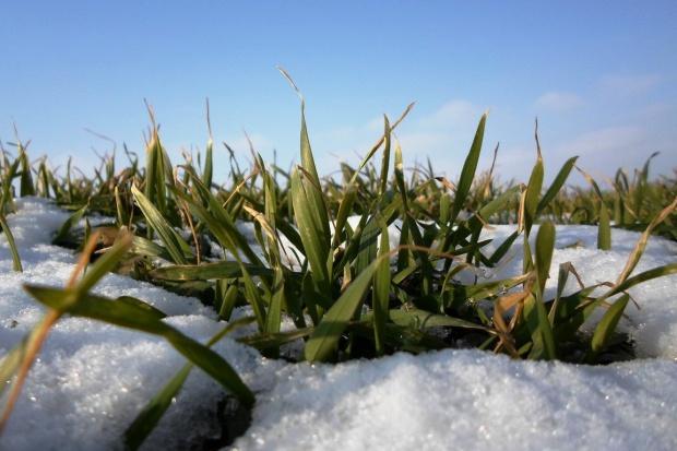 Łagodna zima ratuje oziminy