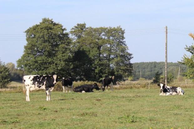 Duńczycy chcą wyhodować ekologiczną krowę