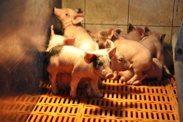 GLW odpowiada na obawy producentów dotyczące epidemicznej biegunki świń