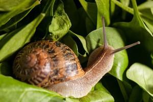 W tym roku nie będzie zbioru ślimaków winniczków