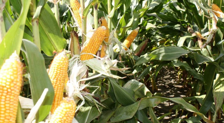 Nowości kukurydziane w Krajowym Rejestrze