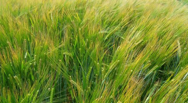 Jęczmień jary - Listy Zalecanych Odmian