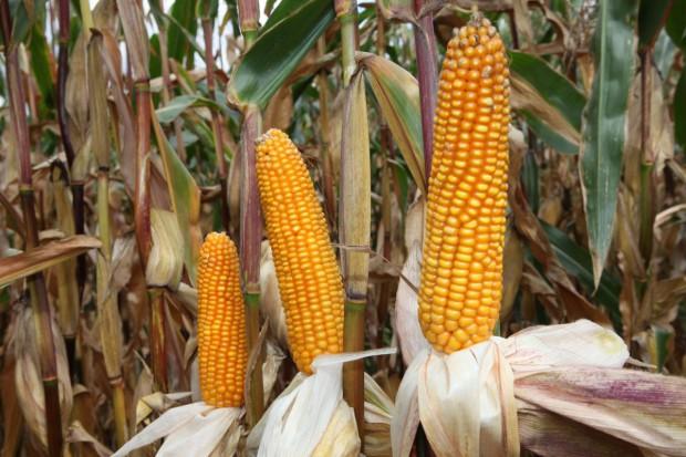 Przybywa upraw GMO, najwięcej jest w USA
