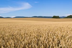 Powolny spadek cen zbóż na giełdach krajowych