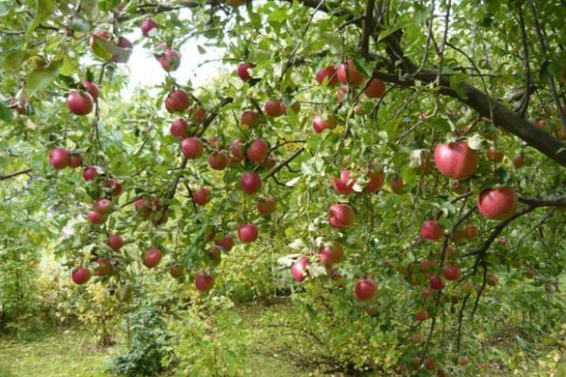 Zapasy jabłek w UE wyższe niż przed rokiem