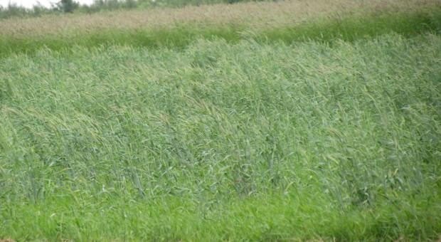 Cztery uprawy z Rolnictwa zrównoważonego jak trzy w zazielenieniu