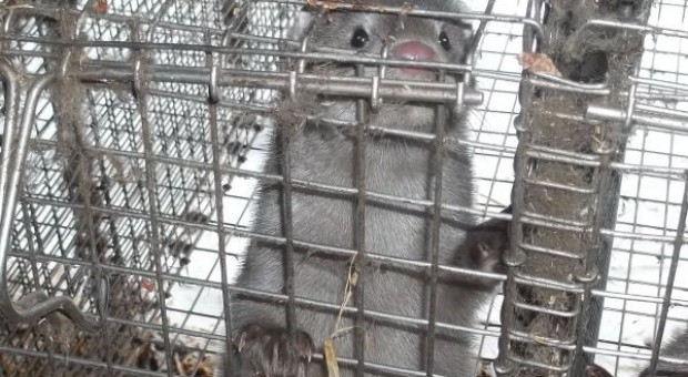 Głos rozsądku w sprawie hodowli zwierząt futerkowych