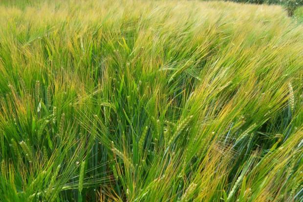 Mniejsza dawka herbicydu i bronowanie