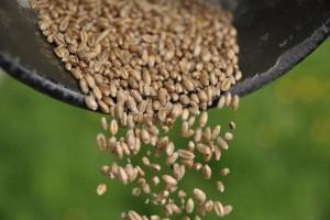 Spadki notowań zbóż w kraju