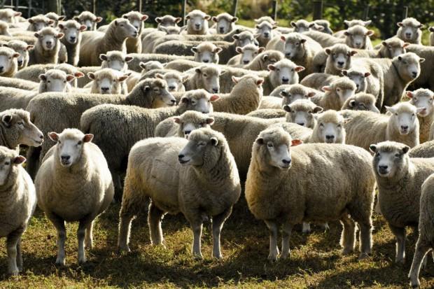Komu dopłata związana z produkcją kóz i owiec