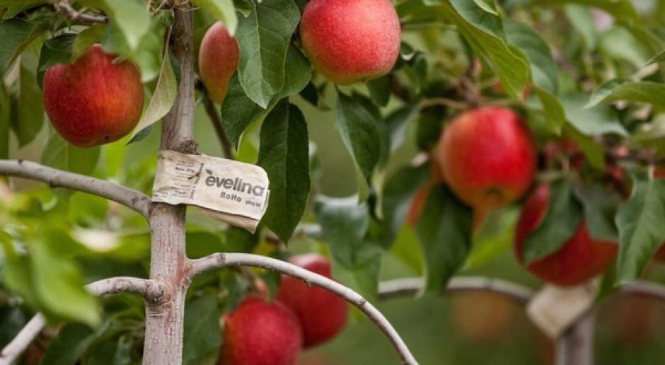 Rosyjski import jabłek w drugim półroczu 2014