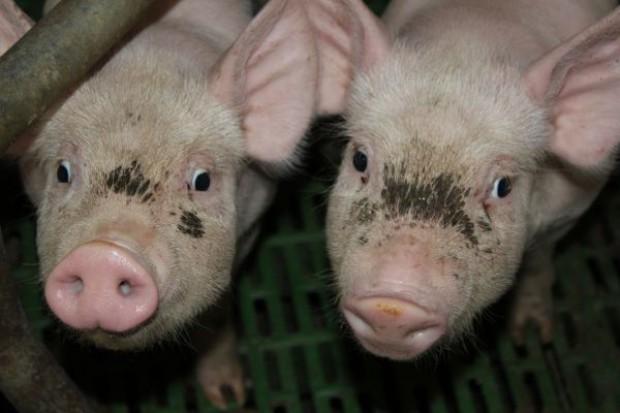 Wyższe pogłowie świń w UE
