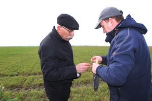 Nadmierne rozkrzewienie zbóż - trudności w prowadzeniu łanu