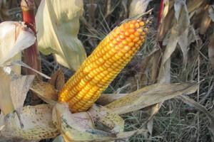 Premiks specjalnie do pasz opartych na kukurydzy