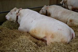 Europejska wołowina zwiększa potencjał eksportowy