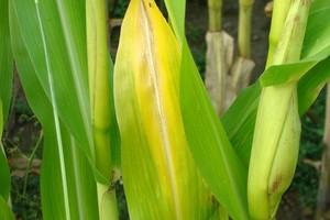 Przedsiewne nawożenie kukurydzy