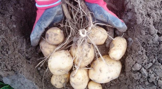 Ziemniak z Listy Zalecanych Odmian na rok 2015