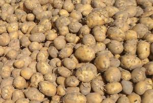 Duże zapasy ziemniaka – niskie ceny
