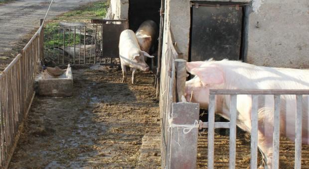 Kategoryzacja gospodarstw utrzymujących świnie
