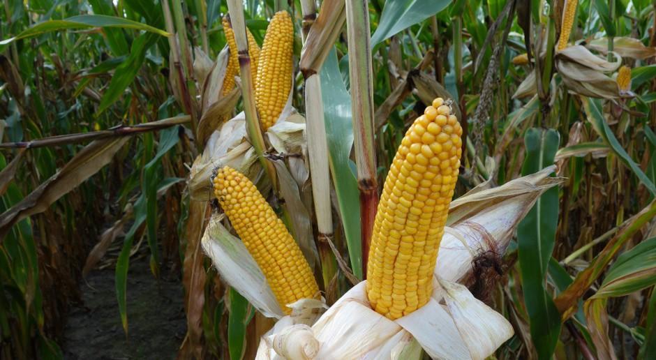 Herbicydy w kukurydzę w warunkach suszy