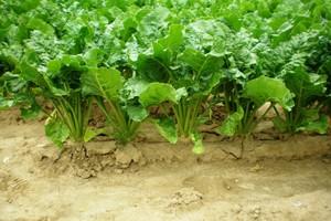 Ukraina ograniczy powierzchnię uprawy buraków cukrowych