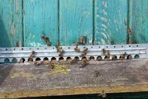 Pszczoły są w słabej kondycji po zimie