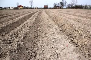 Czym zaprawić sadzeniaki przed rizoktoniozą?