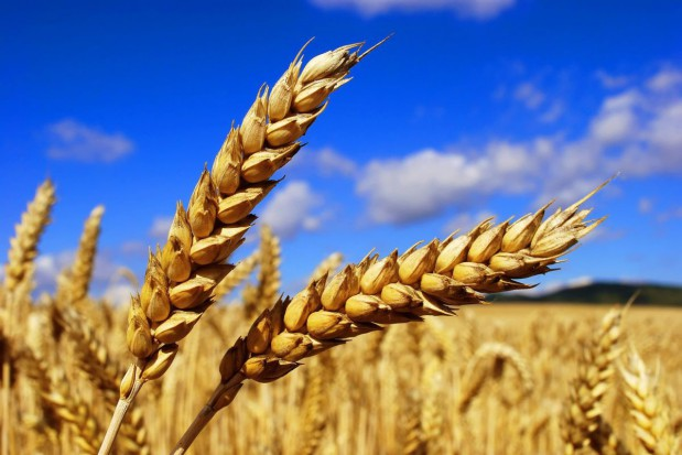 Surowce rolne drożeją w Europie