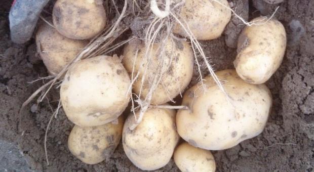 Siarczan potasu poprawia jakość bulw ziemniaków