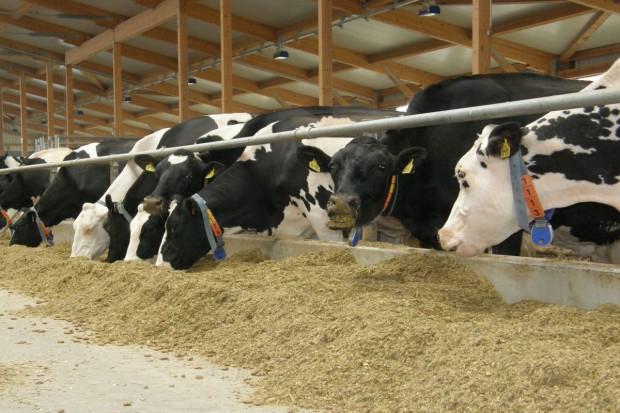 Prozdrowotne preparaty roślinne w żywieniu bydła